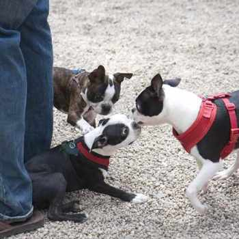Boston Terrier Nyc