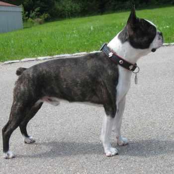 Boston Terrier Origin