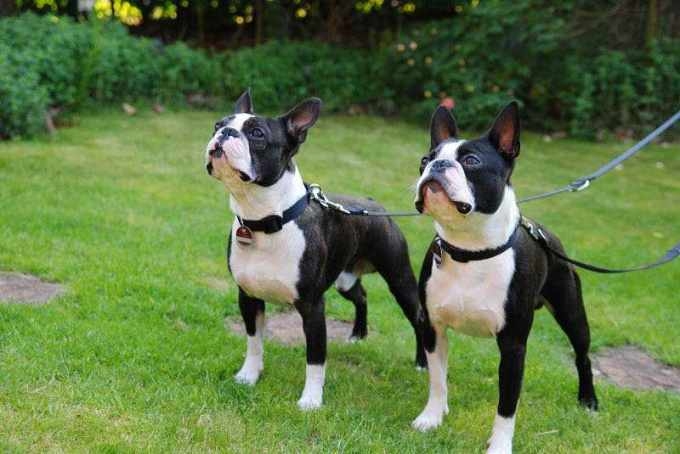 Boston Terrier Price Range