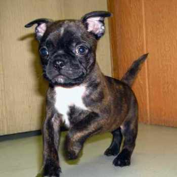 Boston Terrier Pug Mix Puppies For Sale