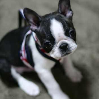 Boston Terrier Puppies Alabama