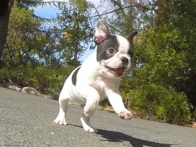 Boston Terrier Puppies Bay Area
