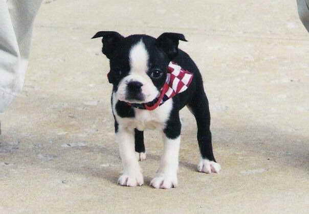 Boston Terrier Puppies Cleveland Ohio