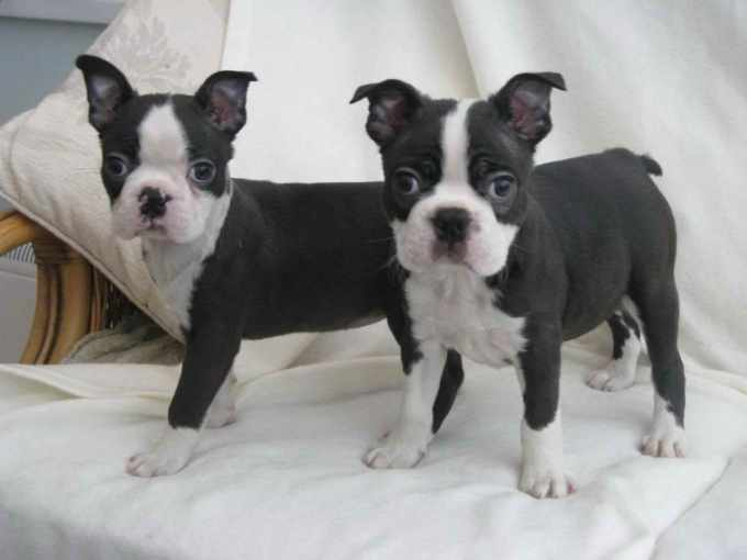 Boston Terrier Puppies Fl