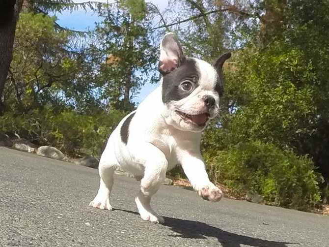 Boston Terrier Puppies For Sale Az