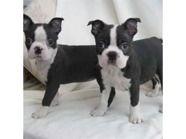 Boston Terrier Puppies For Sale Cheap