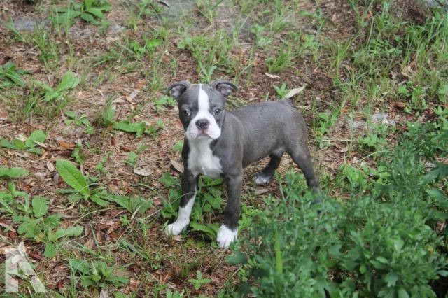 Boston Terrier Puppies For Sale Florida