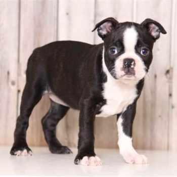 Boston Terrier Puppies For Sale In Columbus Ohio