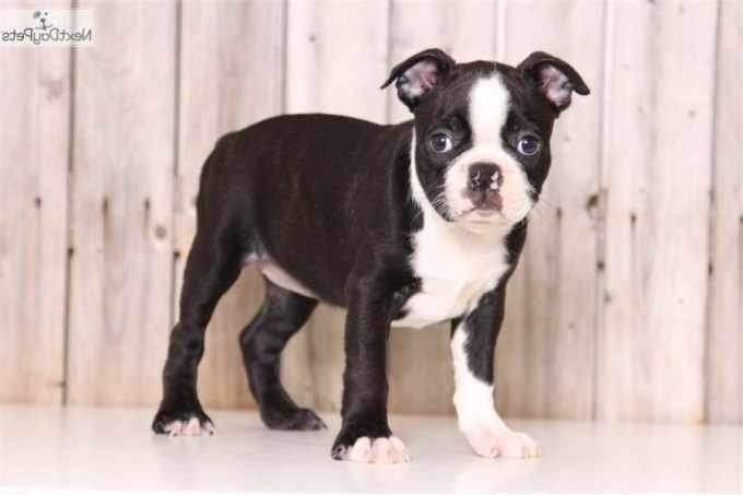 Boston Terrier Puppies For Sale In Columbus Ohio