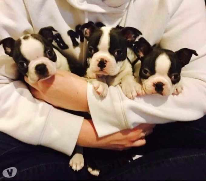 Boston Terrier Puppies For Sale In Idaho