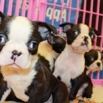 Boston Terrier Puppies For Sale In Los Angeles