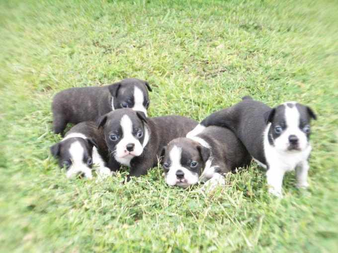 Boston Terrier Puppies For Sale In Mississippi