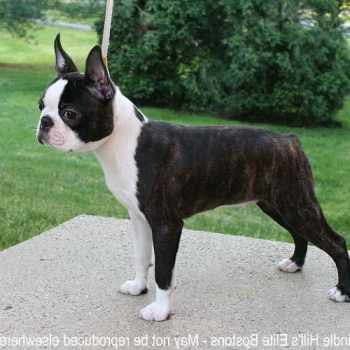 Boston Terrier Puppies For Sale In Missouri