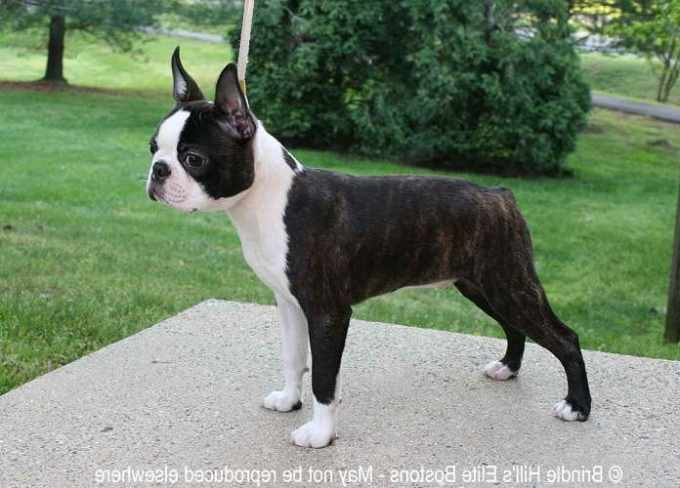 Boston Terrier Puppies For Sale In Missouri