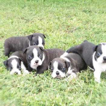 Boston Terrier Puppies For Sale In Ms