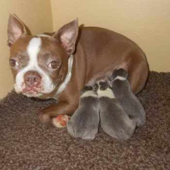 Boston Terrier Puppies For Sale In Nc