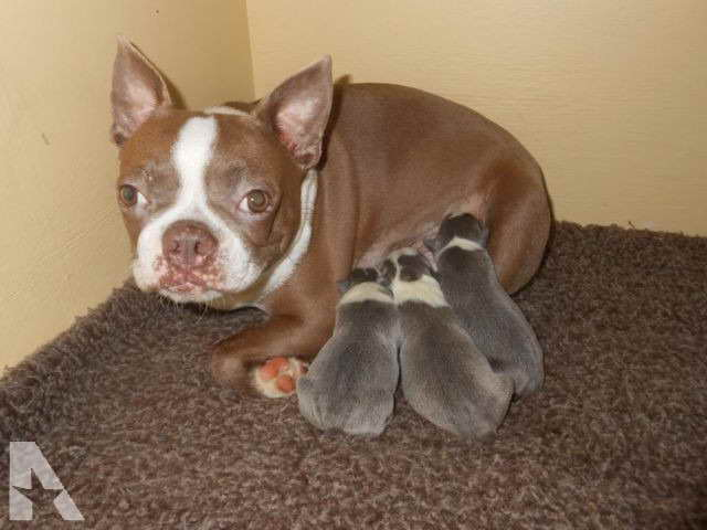 Boston Terrier Puppies For Sale In North Carolina