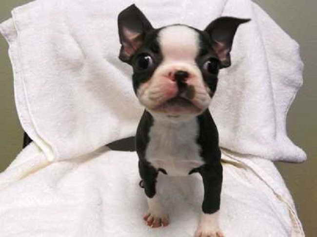 Boston Terrier Puppies For Sale In Oregon