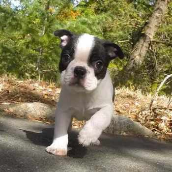 Boston Terrier Puppies For Sale In Washington