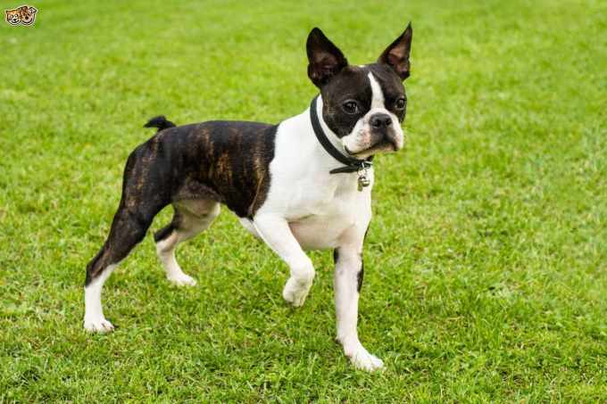 Boston Terrier Puppies For Sale In Wi