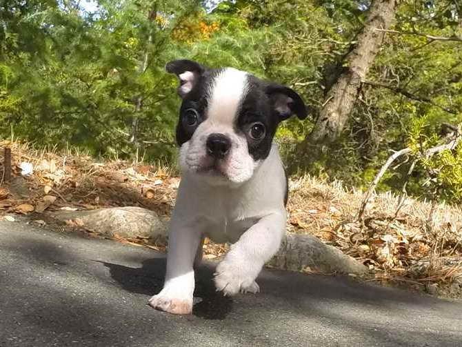 Boston Terrier Puppies For Sale Washington