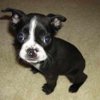 Boston Terrier Puppies Free
