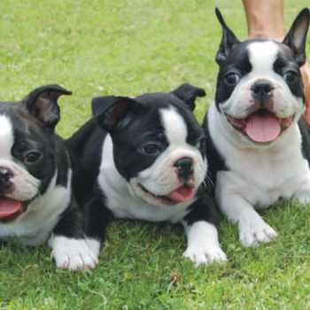 Boston Terrier Puppies Houston