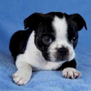 Boston Terrier Puppies Massachusetts