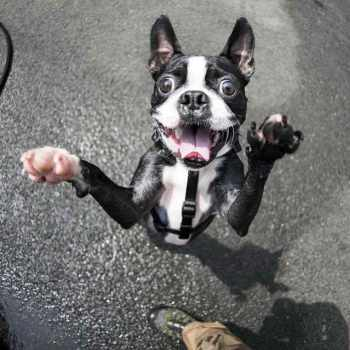 Boston Terrier Puppies New York