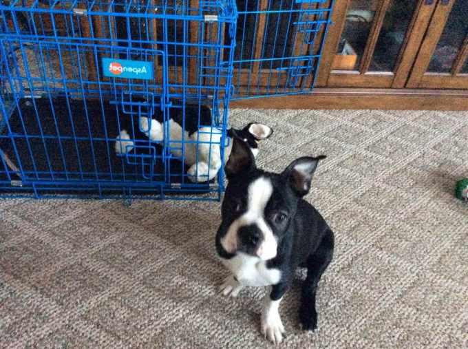Boston Terrier Puppies Reno