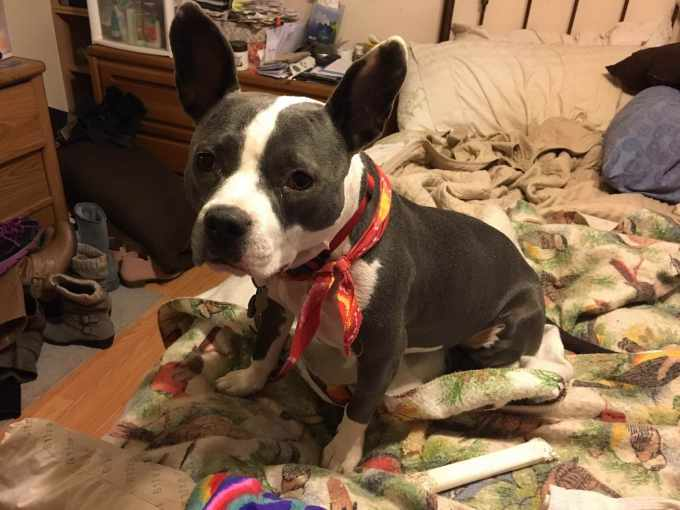 Boston Terrier Puppies Rochester Ny