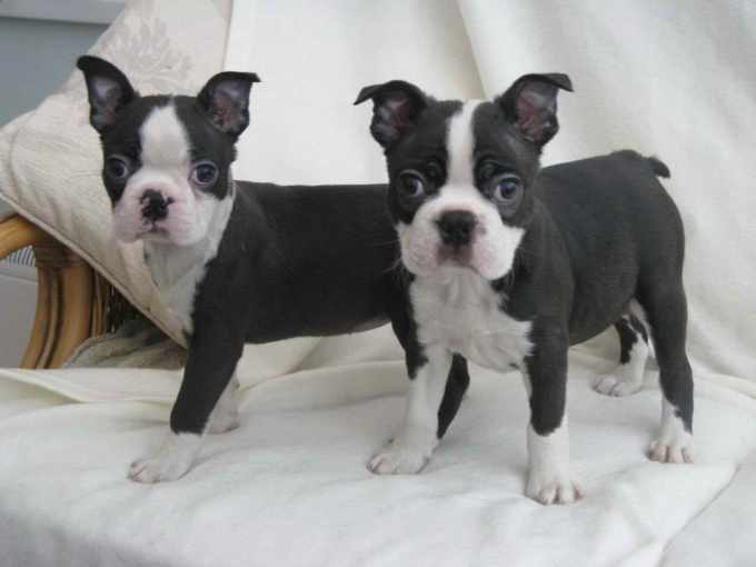 Boston Terrier Puppies Up For Adoption