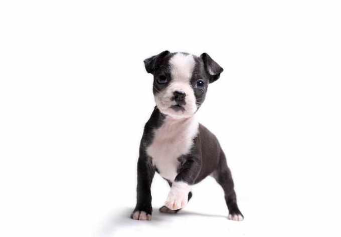 Boston Terrier Puppies Vt