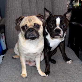 Boston Terrier Puppies Washington State
