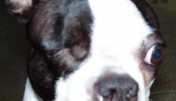 Boston Terrier Puppies For Sale In Wisconsin   Pets and Dogs