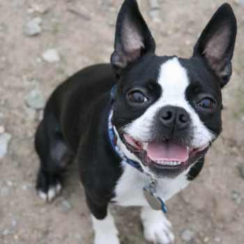 Boston Terrier Puppy Training