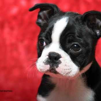 Boston Terrier Puppy Wisconsin