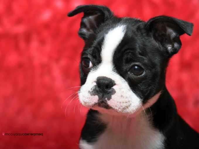 Boston Terrier Puppy Wisconsin