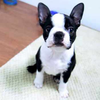 Boston Terrier Puupies