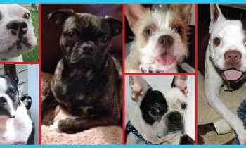 Boston Terrier Rescue Alabama