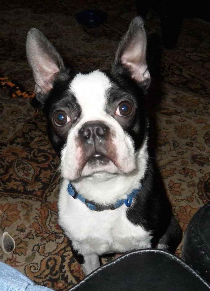 Boston Terrier Rescue Dallas