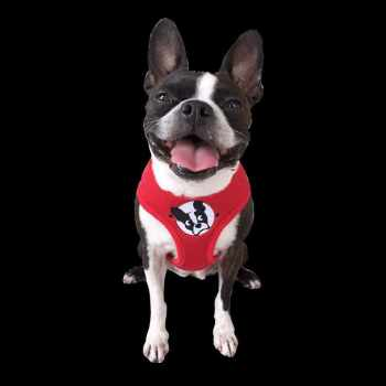 Boston Terrier Rescue Florida