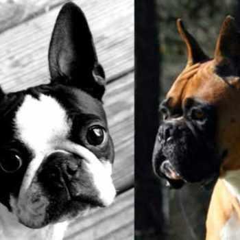 Boston Terrier Rescue Houston
