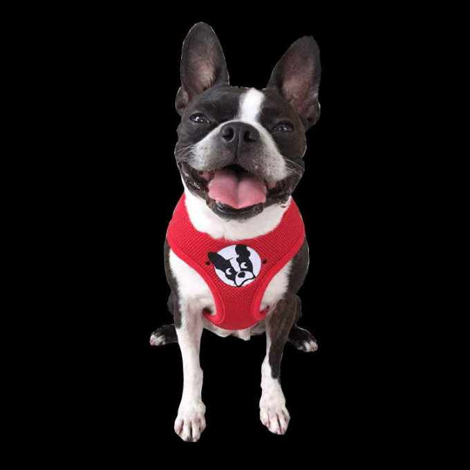 Boston Terrier Rescue In Florida