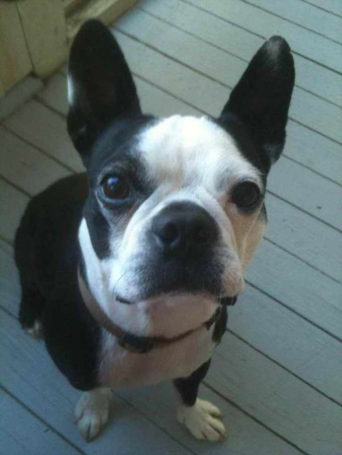Boston Terrier Rescue Los Angeles