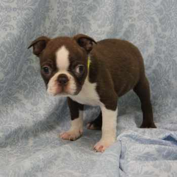 Boston Terrier Rescue Nj