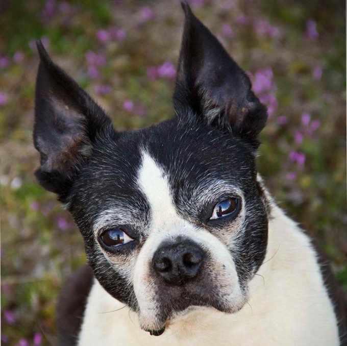 Boston Terrier Rescue Oklahoma City