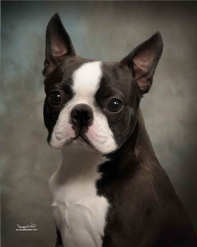 Boston Terrier Rescue Oregon