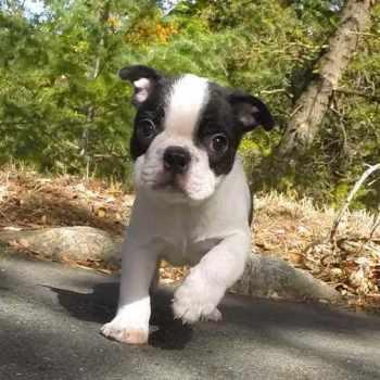 Boston Terrier Rescue San Francisco