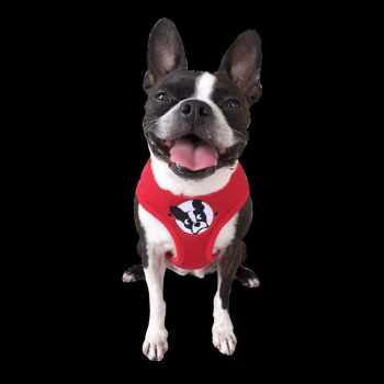 Boston Terrier Rescue South Florida